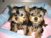 Male and female Yorkie puppies AKC registered.