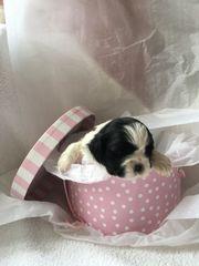 ##@!#Rational 10 wks old purebred shih tzu puppies female@!@!