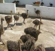 Fresh, fertile ostrich eggs and chicks for sale.